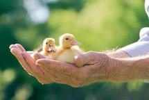 elderly hands holding baby ducks