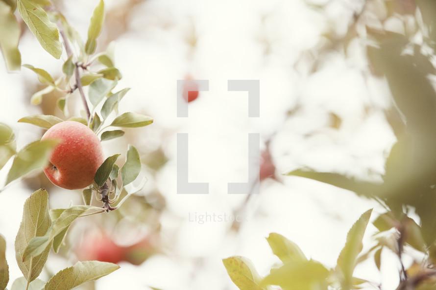 Apples on a tree.