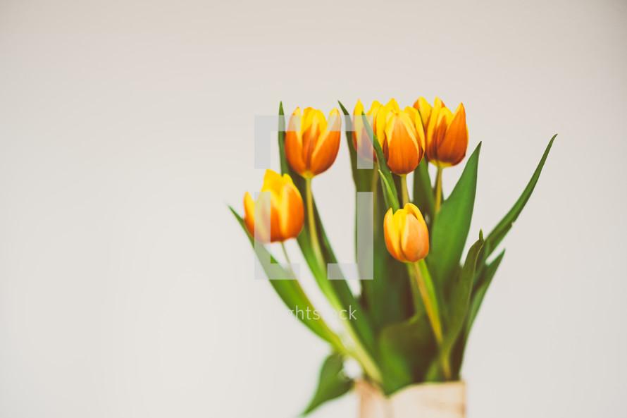 orange and yellow tulips