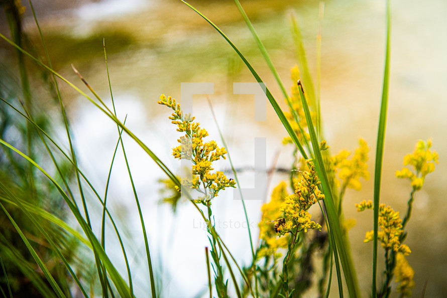 yellow flowers in front of a pond