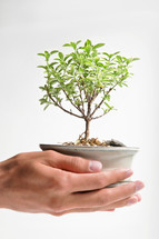 Bonsai tree growing in cupped hands