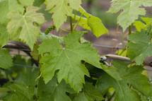 Grapevine leaves.