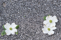 dogwood flowers on asphalt