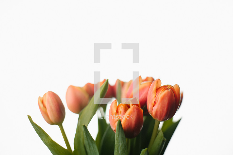 spring tulips on a white background