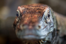 Close up of Komodo Dragon's face