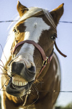 horse showing its teeth