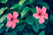 tropical fuchsia hibiscus flowers on a green nature background in summer