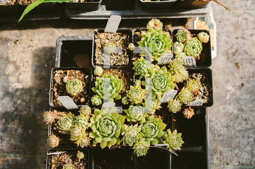 A flat of succulent plants.