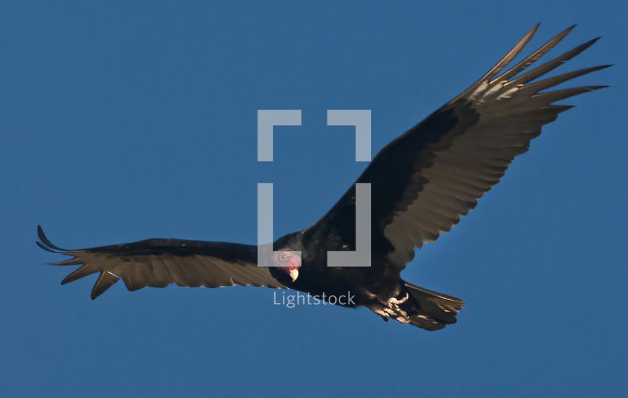 volture in flight