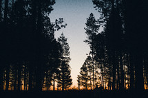 silhouettes of trees in a pine forest