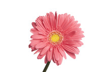 pink gerber daisy against a white background