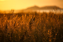 a field of tall grasses under golden sunlight