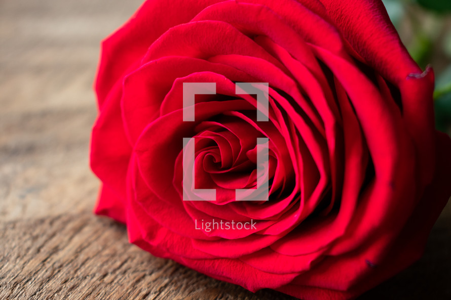 red rose on wood background
