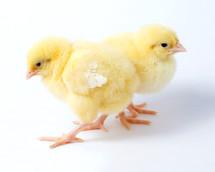 Baby chicks.
