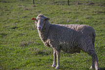 Sheep standing in a green pasture.
