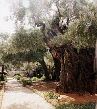 Ancient olive trees in the Garden of Gethsemene