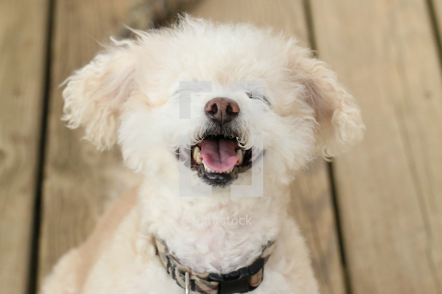 Happy White Fluffy Dog with Big Smile
