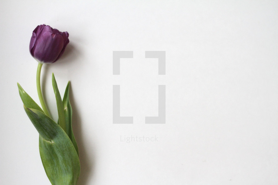 single purple tulip on white