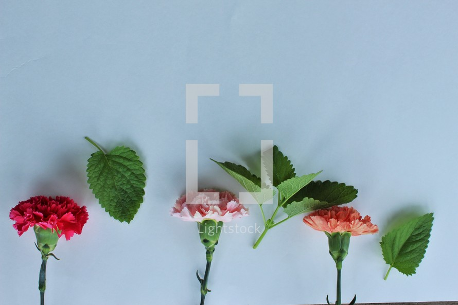 carnation flowers and leaves on white