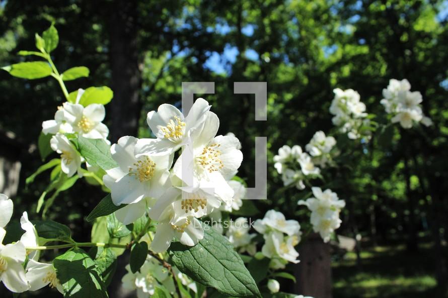 white spring flowers in a garden