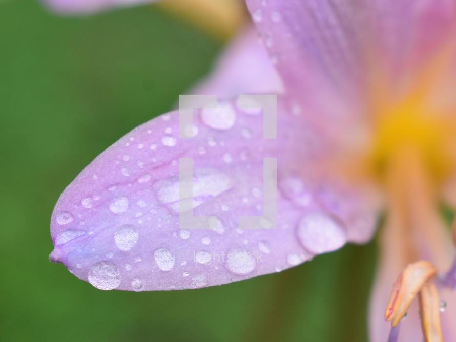 rain drops on a flower petal