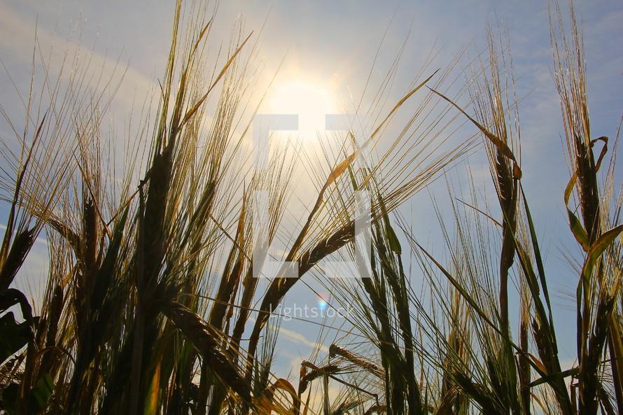 ripe wheat under the glow of sunlight