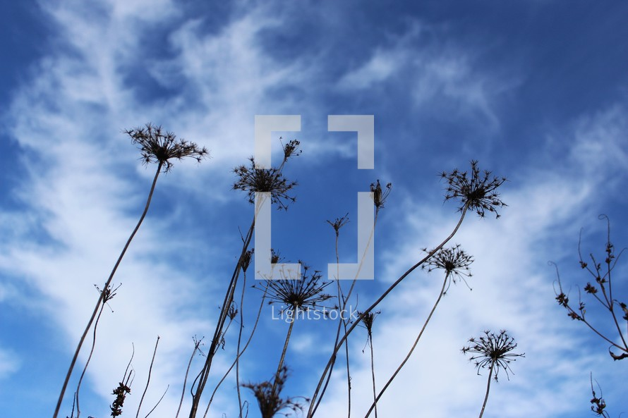 dried flowers against a blue sky