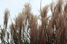 fuzzy tops of tall grasses
