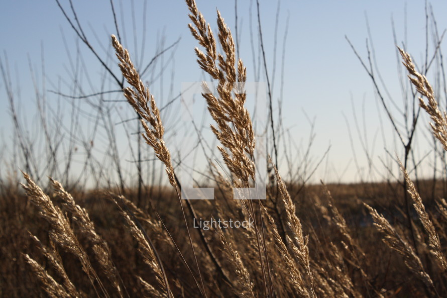 Dry wheat plants