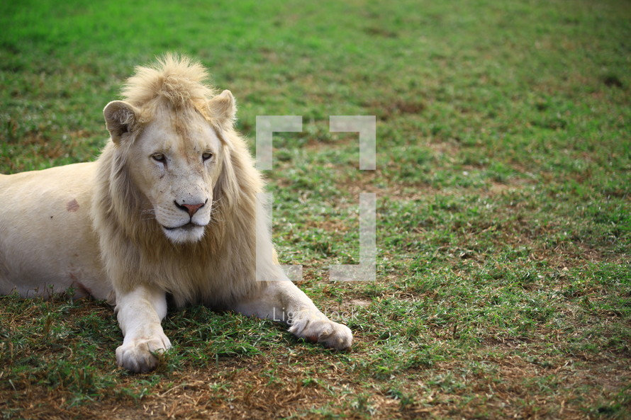 Lion lying in the grass.