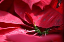 closeup of Poinsettia leaves