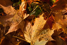 water droplets on fall leaves