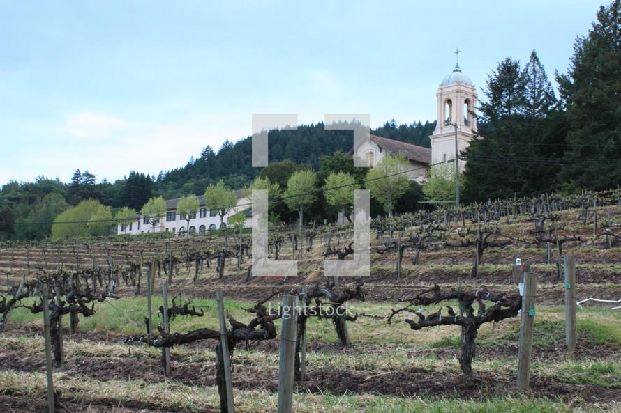 grape vines in a vine yard