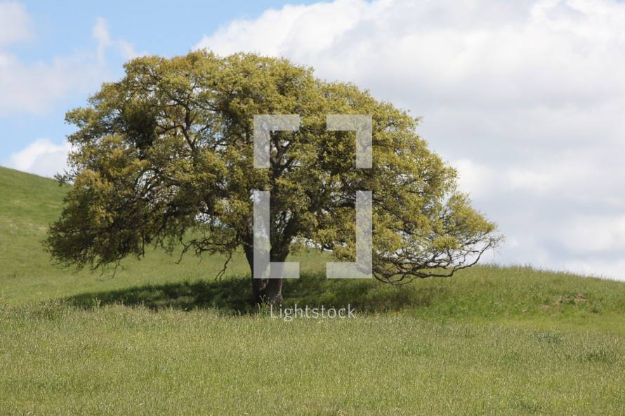 solo tree in a field