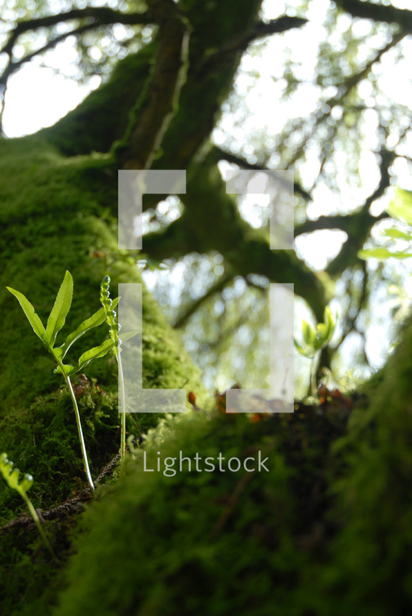 Moss covered tree.