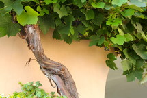 Old grape vine with green leaves and grapes - I am the vine you are the branches