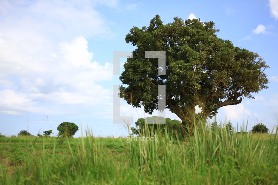 large tree in the African savanna