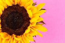 sunflower on pink
