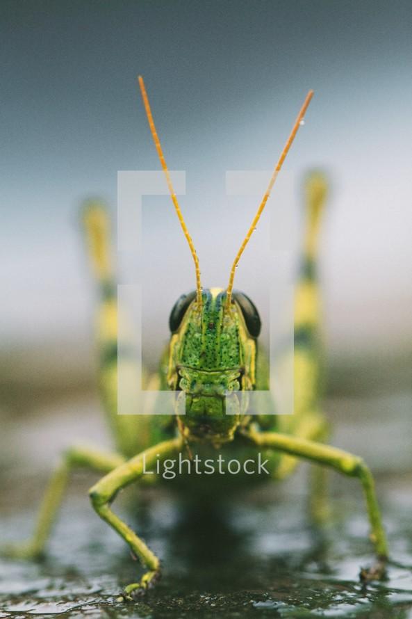 grasshopper closeup