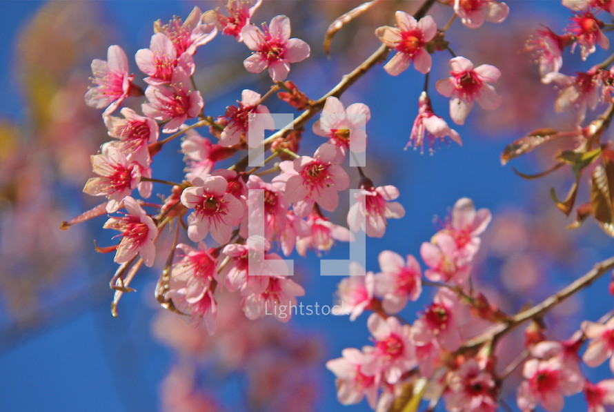 Chinese New Year pink cherry blossom flowers