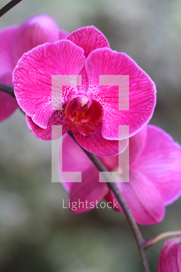 fuschia pink orchids