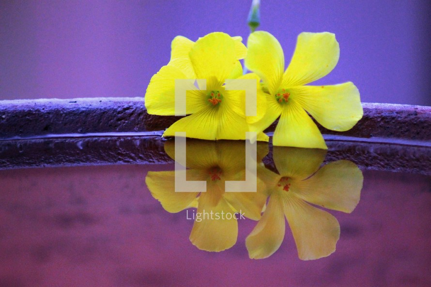 yellow orchid flower on purple water