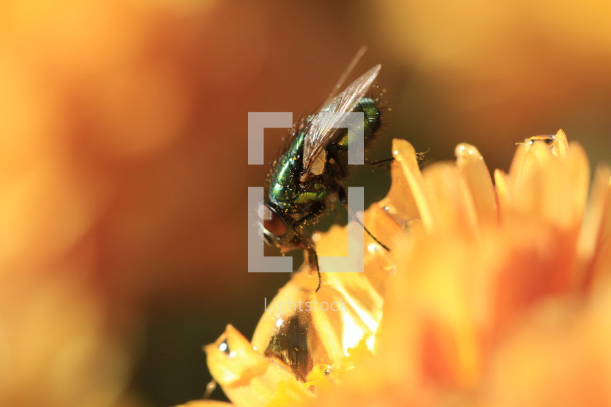 house fly on a yellow flower