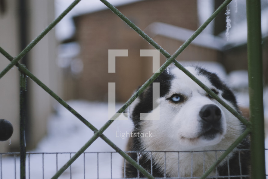 A husky dog standing behind an icy fence