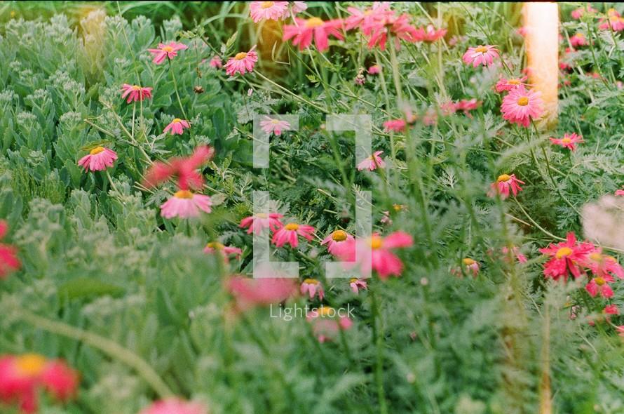 fuchsia flowers in a field