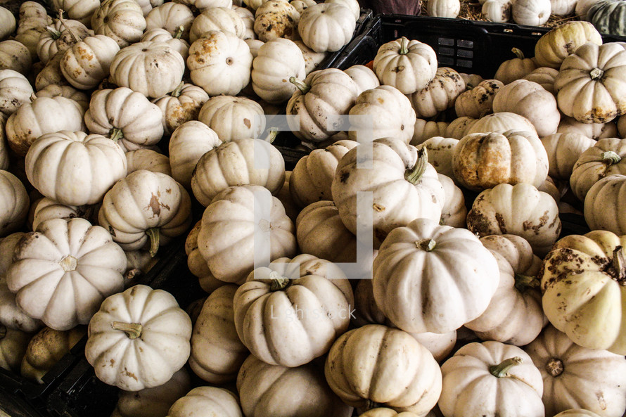 crates of white pumpkins