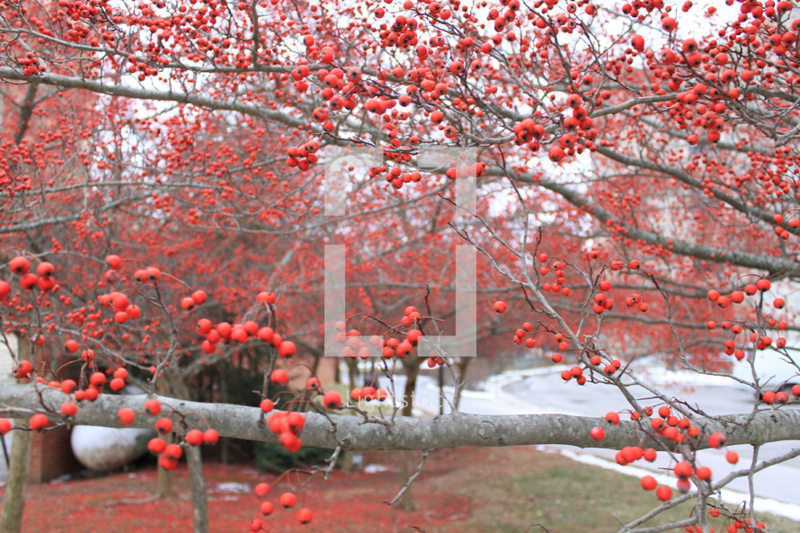 red berries on a tree branch