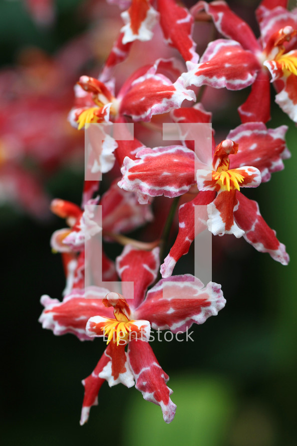 red and white orchid flowers