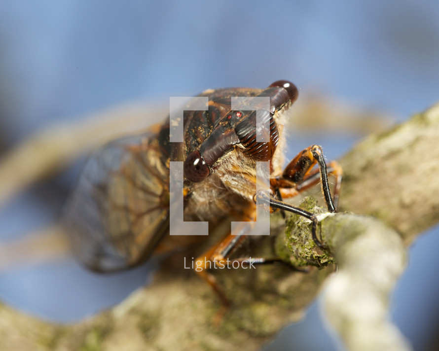 Cicada on a tree limb.