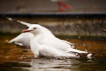 seagulls bathing in water